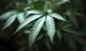Photo for: Cannabis prohibition doesn't work anywhere. It's New Zealand's turn to legalise it